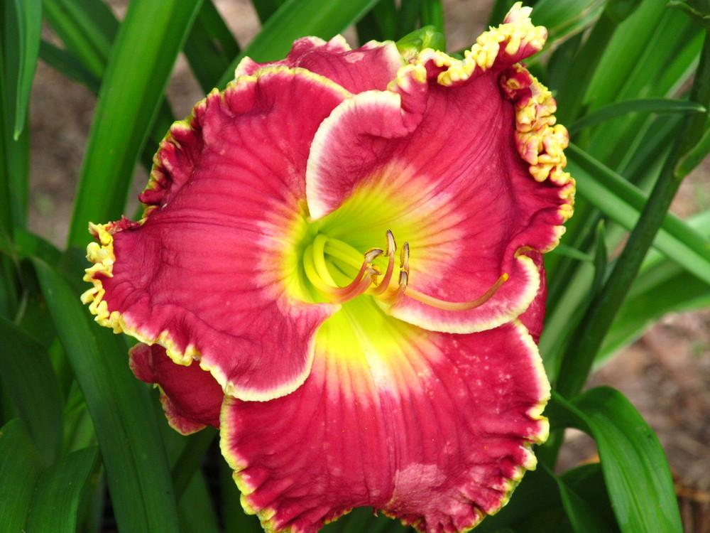Photo of Daylily (Hemerocallis 'Born to Run') uploaded by monalisa18