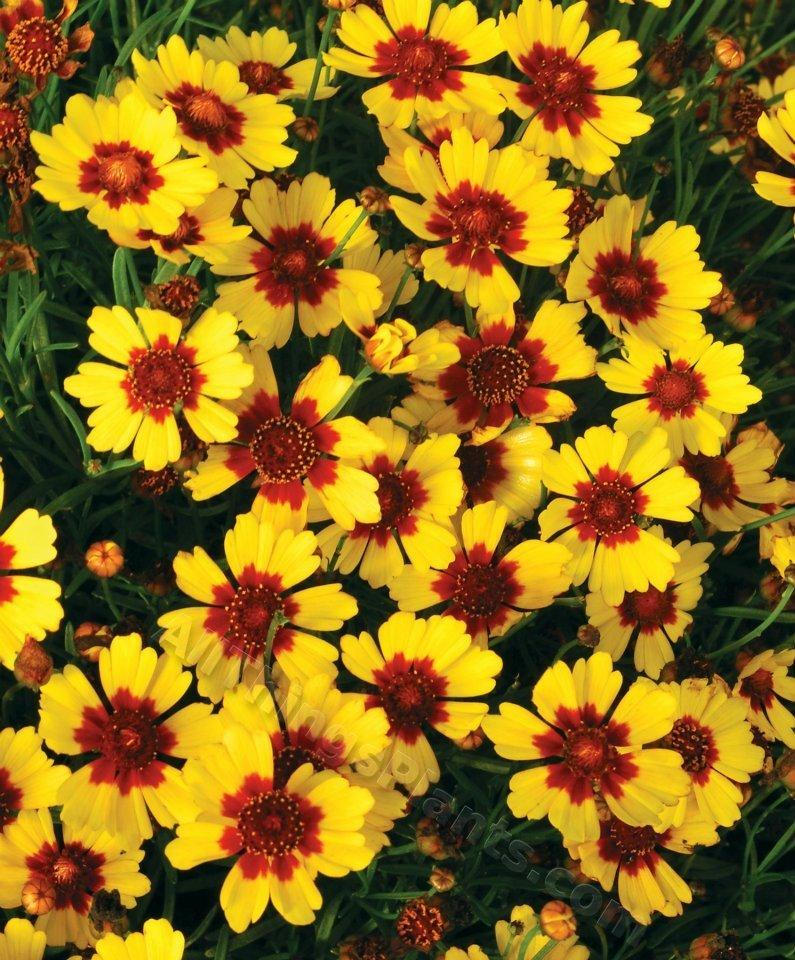 Perennials forum have you seen any new perennials this for Best low growing flowering perennials