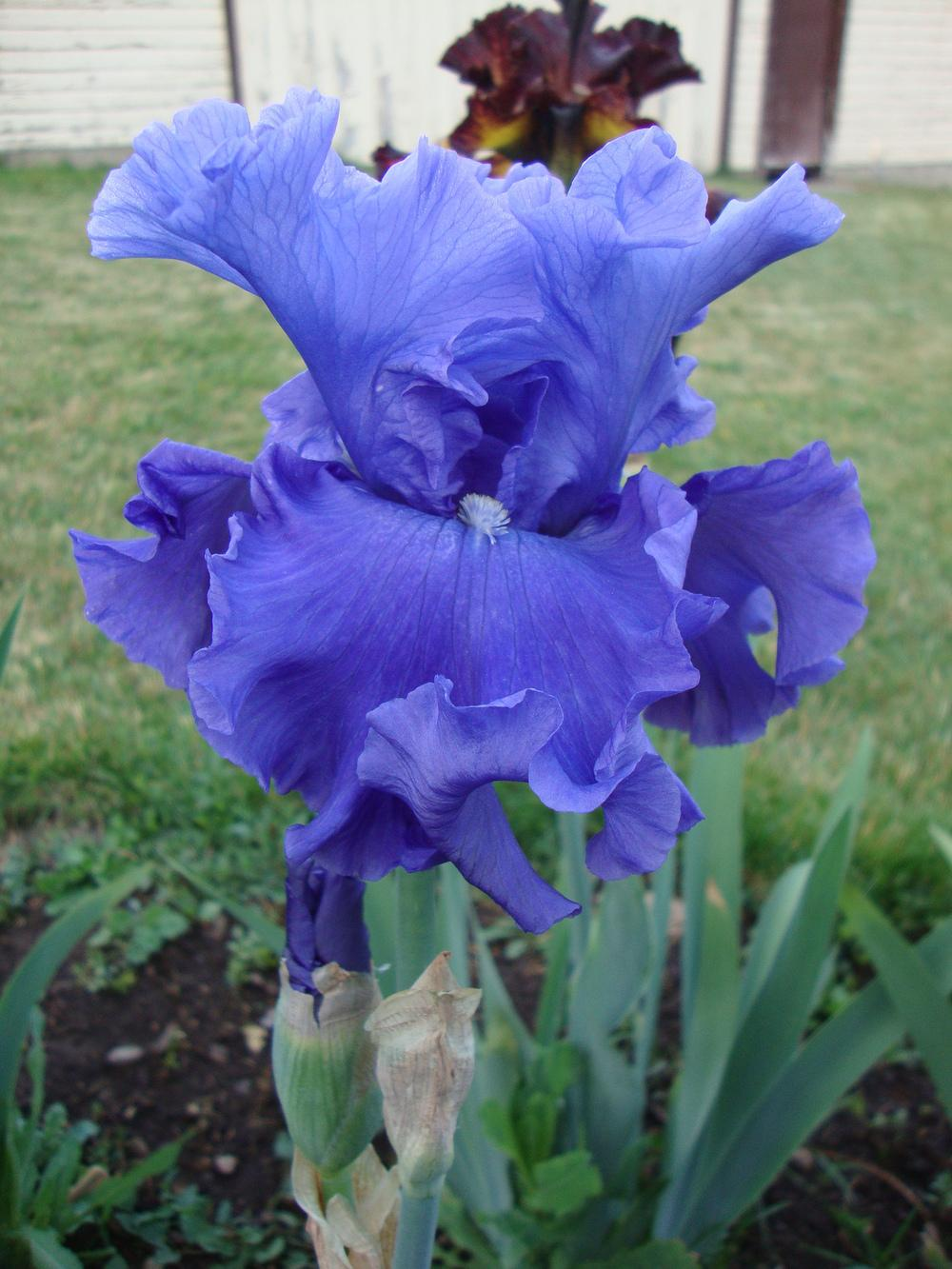 Photo of Tall Bearded Iris (Iris 'Adriatic Waves') uploaded by Paul2032
