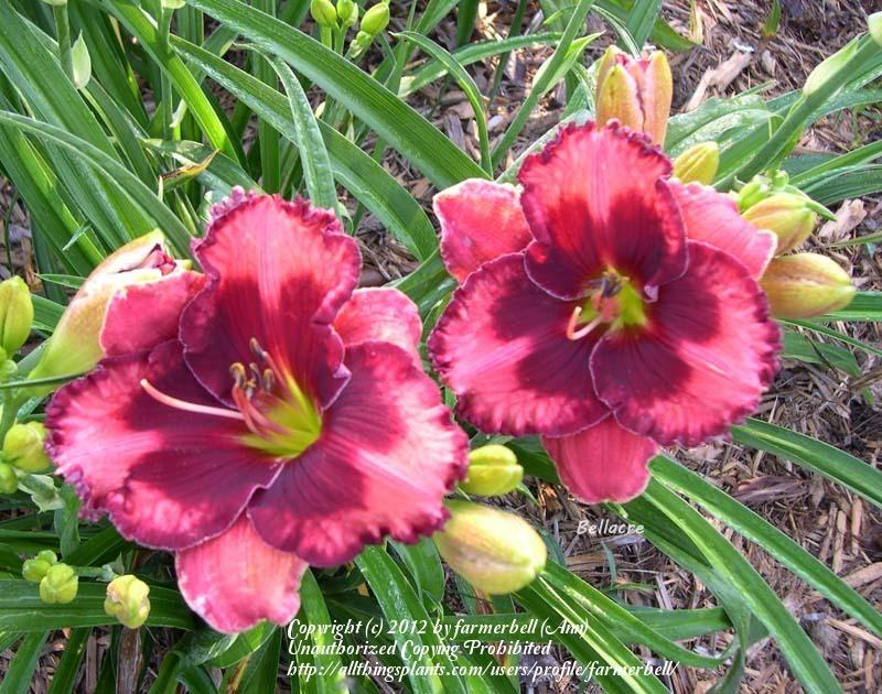 Photo of Daylily (Hemerocallis 'Walter Kennedy') uploaded by farmerbell