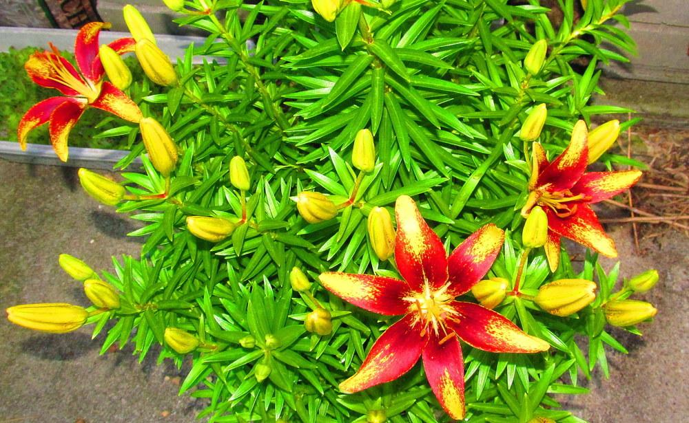 Photo of Lily (Lilium 'Tiny Sensation') uploaded by jmorth