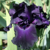 Location: Napa Iris GardensDate: 2012-05-18