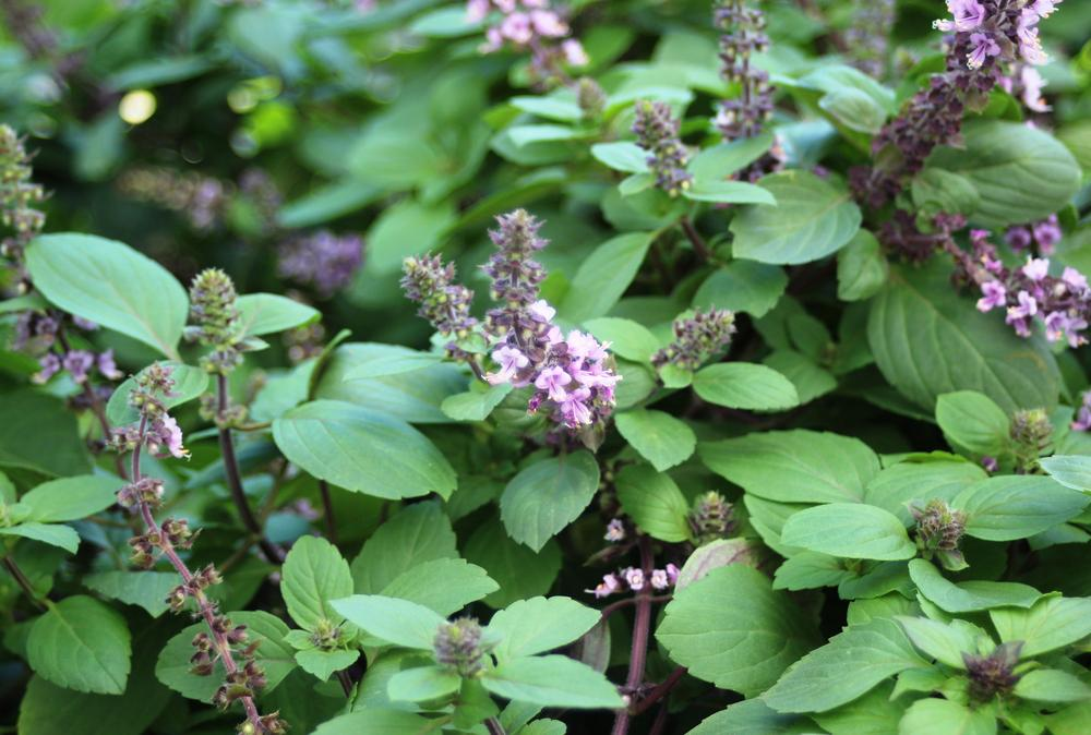 Photo of African Blue Basil (Ocimum 'African Blue') uploaded by LindaTX8