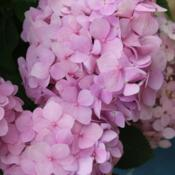 Location: San Antonio, TXDate: May 20, 2012Bigleaf Hydrangea