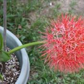 Location: Fountain, FloridaDate: 2012-05-22bloom stalk normally upright...had rain so was leaning