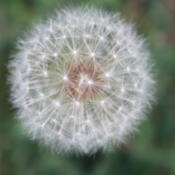 Location: Yukon, OklahomaDate: 2012-05-21seedhead of a common dandelion