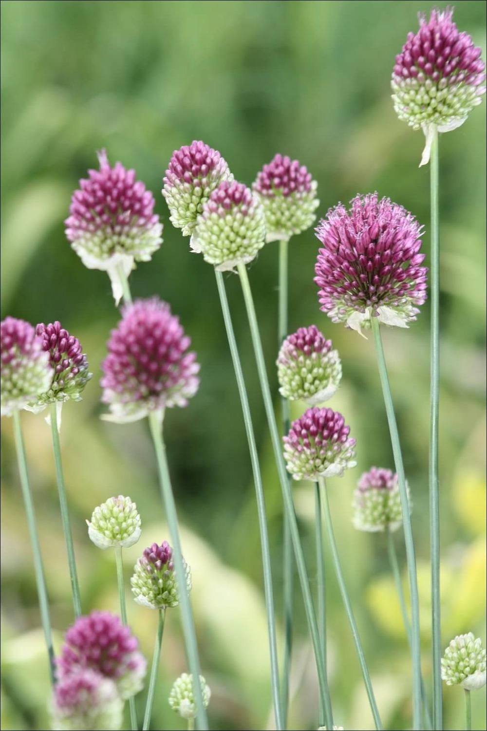 photo of the bloom of drumsticks allium sphaerocephalon posted by keyi. Black Bedroom Furniture Sets. Home Design Ideas