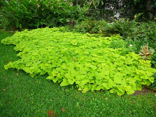 Vines as ground covers for Landscaping ground cover plants