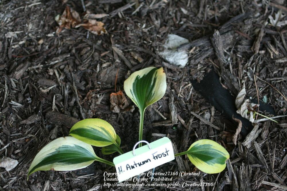 Photo of Hosta 'Autumn Frost' uploaded by Christine27360