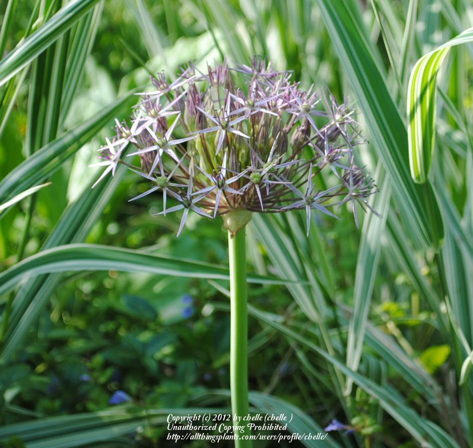 Photo of Stars of Persia (Allium cristophii) uploaded by chelle