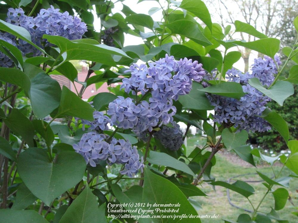 Photo of French Lilac (Syringa vulgaris 'President Lincoln') uploaded by dormantsrule