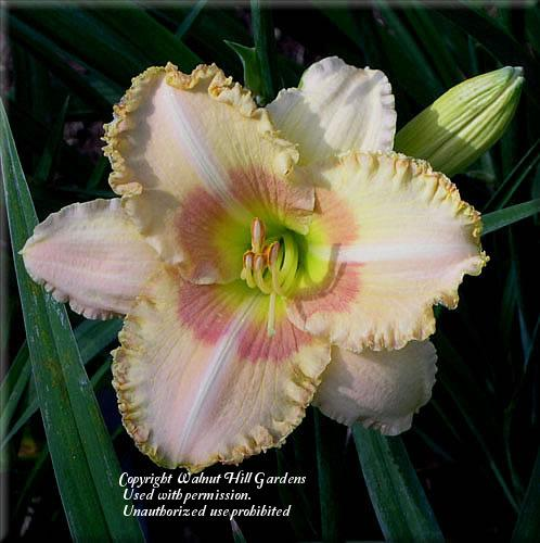 Photo of Daylily (Hemerocallis 'Wisest of Wizards') uploaded by vic