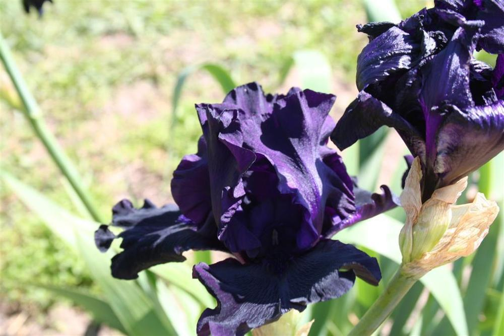 Photo of Tall Bearded Iris (Iris 'Hello Darkness') uploaded by KentPfeiffer