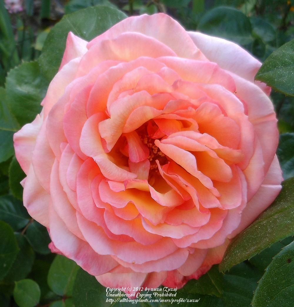 Photo of Rose (Rosa 'Glowing Peace') uploaded by zuzu