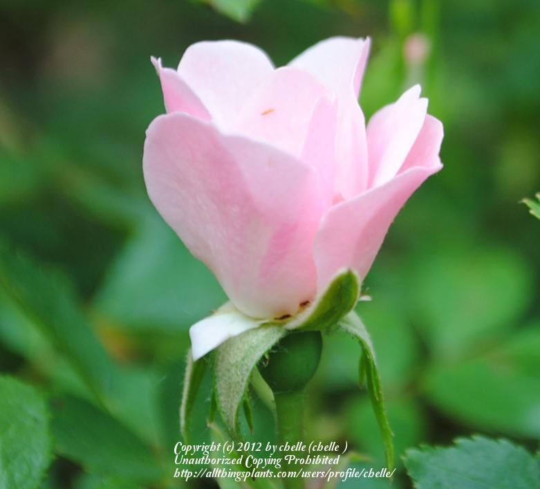 Photo of Rose (Rosa 'Bonica') uploaded by chelle