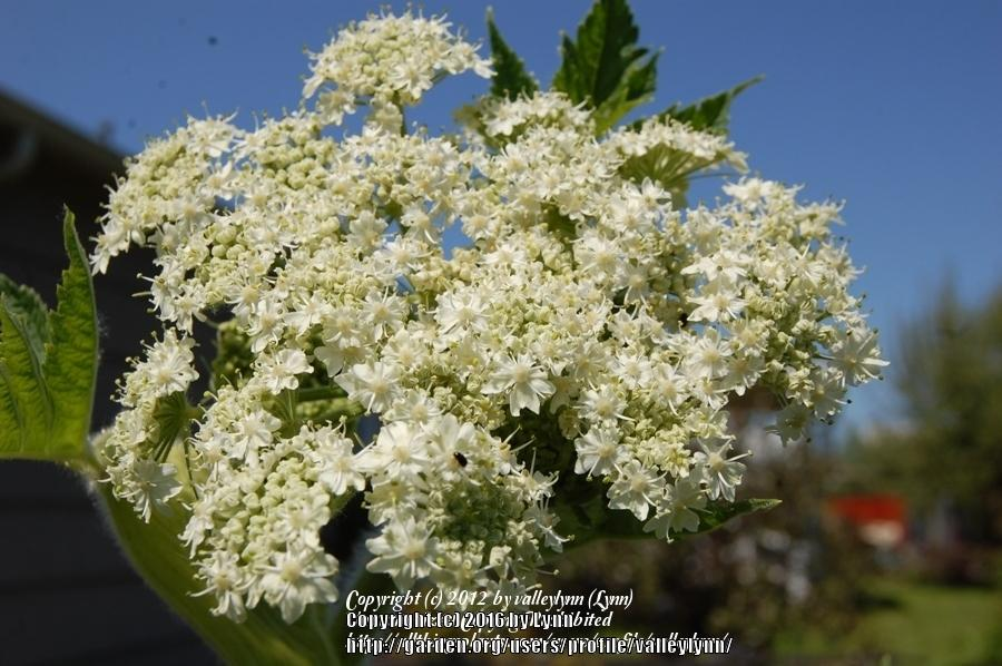 Photo of Cow Parsnip (Heracleum sphondylium var. akasimontanum) uploaded by valleylynn