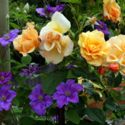 Date: 2012-05-28Planted with climbing rose Autumn Sunset