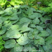 Location: Montréal Botanical GardenDate: 2012-05-26H. 'Zager Blue' - same plant as the other photo, but in its sprin