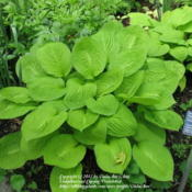 Location: Montréal Botanical GardenDate: 2012-05-26H. 'Good As Gold' - this is likely the same plant pictured above,