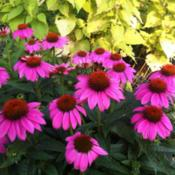 Location: Medina, TNDate: 2012-05-28Echinacea 'PowWow Wild Berry' with Agastache 'Golden Ju