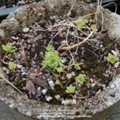 Location: Pacific Northwest, zone 8Date: May 5, 2012Coming out of dormancy.