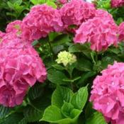 Photo Courtesy of Hydrangea Farm Nursery Used with Permission