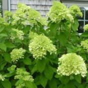 Photo Courtesy of Hydrangea Farm Nursery Used with Perm