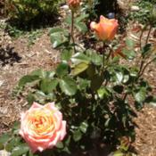 Location: Denver Metro CODate: 2012-05-28Survived zone 5 with mulching, beautiful rose!