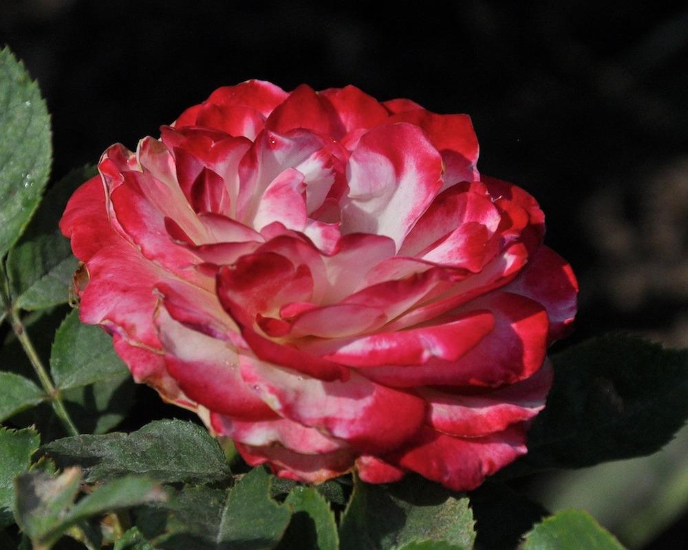 Photo of Rose (Rosa 'Cherry Parfait') uploaded by Steve812