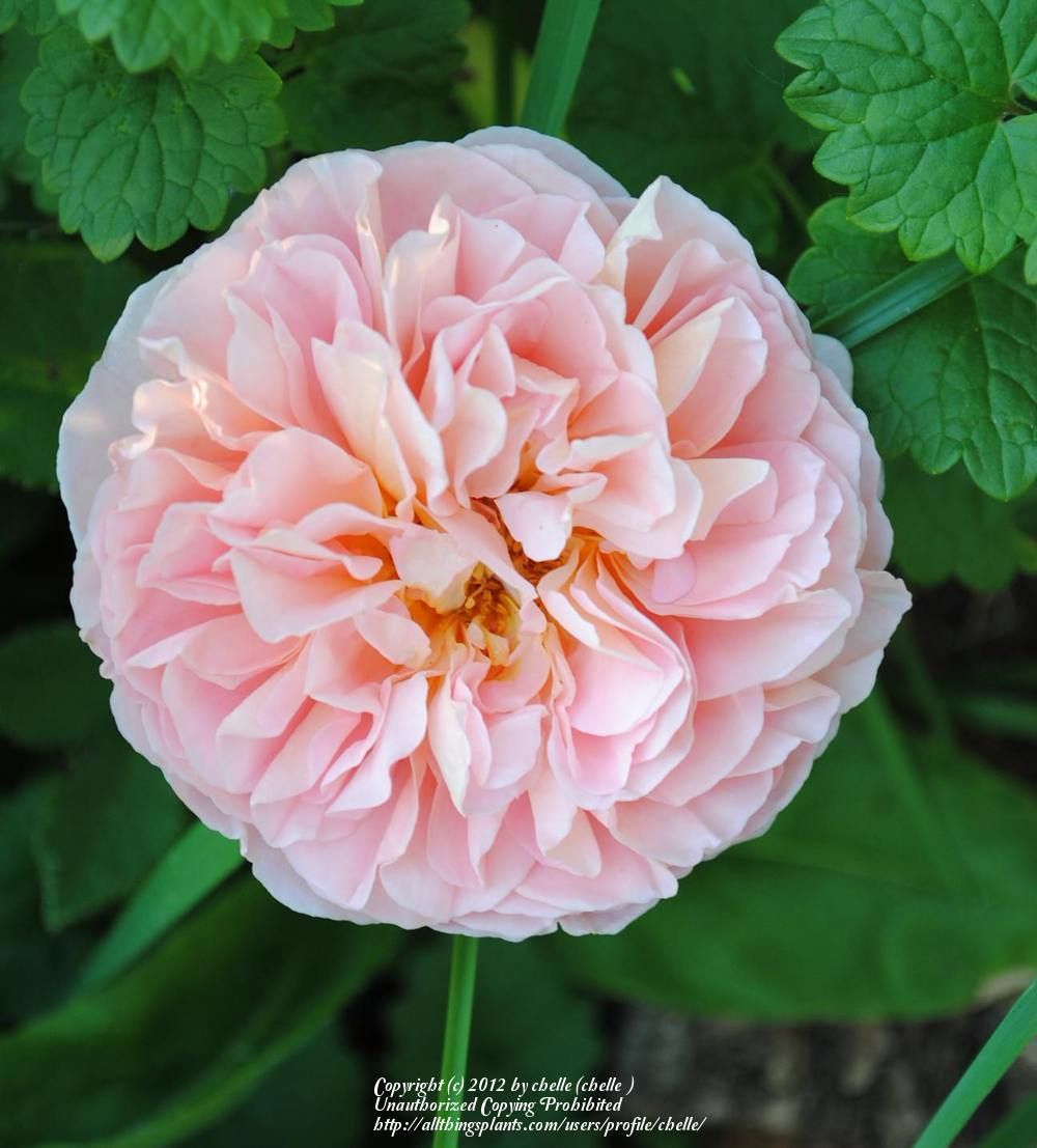 Photo of Rose (Rosa 'Abraham Darby') uploaded by chelle