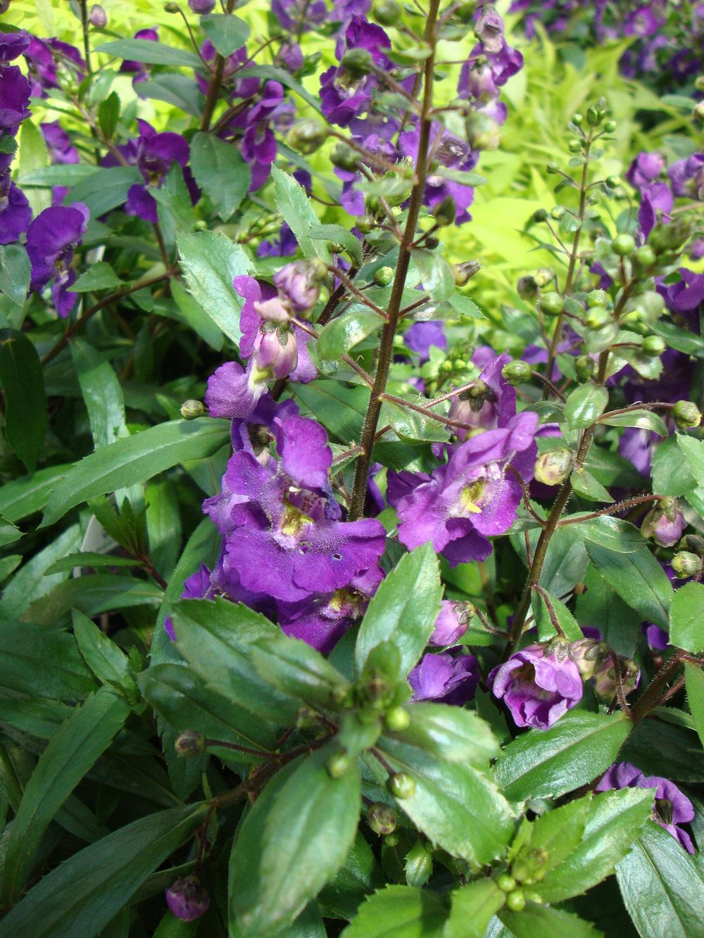 Photo Of The Bloom Of Summer Snapdragon Angelonia Angustifolia