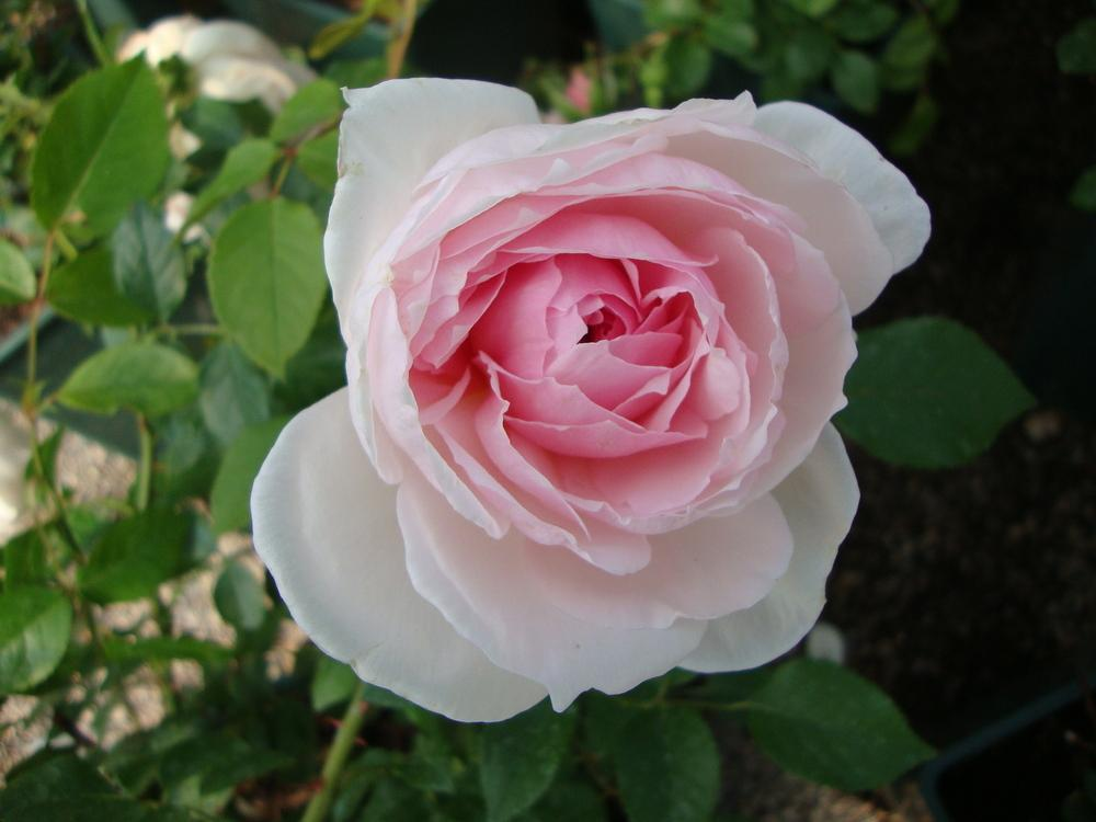 Photo of Rose (Rosa 'The Wedgwood Rose') uploaded by Paul2032