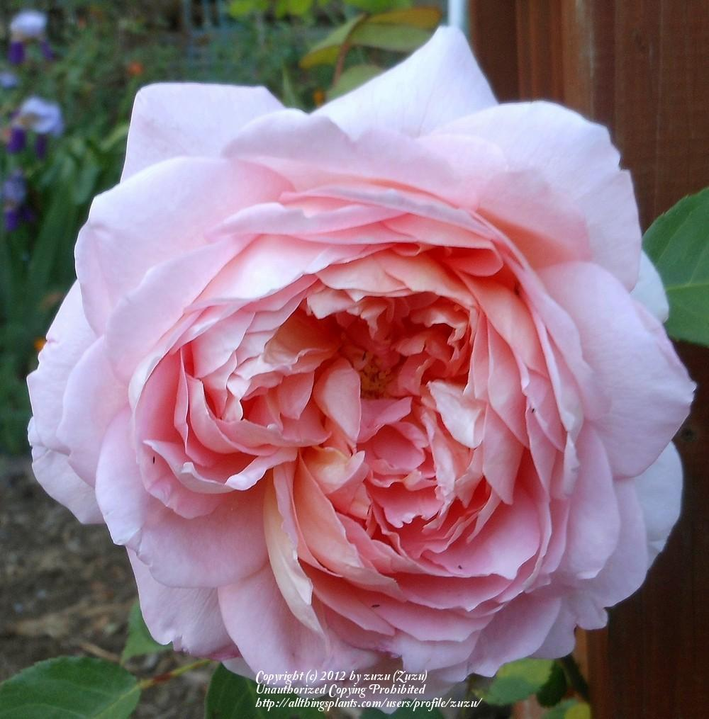 Photo of Rose (Rosa 'Carding Mill') uploaded by zuzu