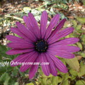 Photo courtesy of Osteospermum.com