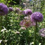 Location: Chicago, ILDate: 2012-05-23 Growing with Allium christophii and pink chervil.