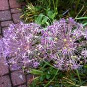 Location: Chicago, ILDate: 2012-06-01 When happy, these plants produce flowers heads the size
