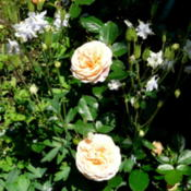 Location: Kassia's Garden - Framingham, MA Date: 2012-06-01From Palatine Roses - planted in 2010 - really doing well this ye