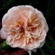 Location: Kassia's Garden - Framingham, MA Date: 2012-05-31Really a nice rose!