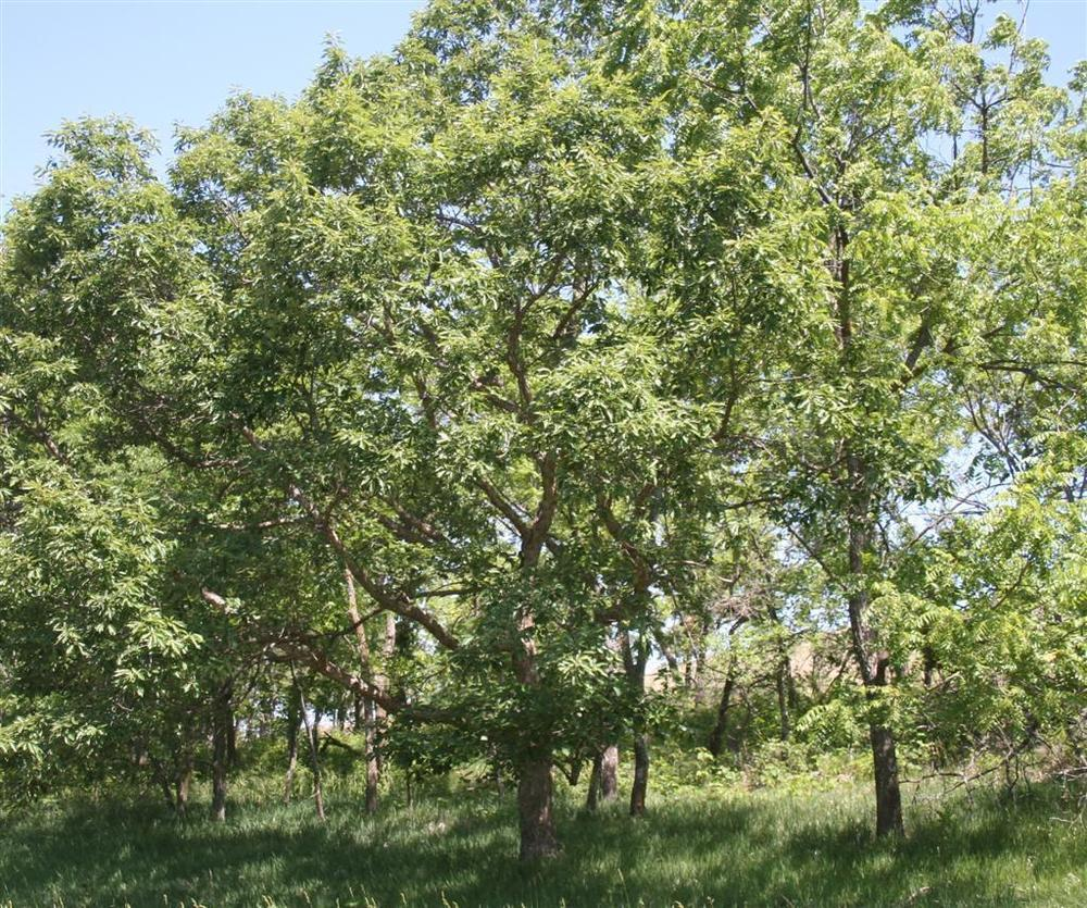 Photo of Chinkapin Oak (Quercus muehlenbergii) uploaded by KentPfeiffer