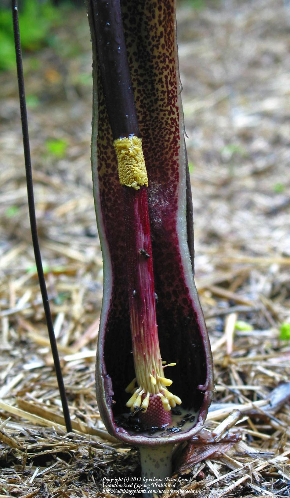 Photo of Voodoo Lily (Sauromatum venosum) uploaded by eclayne