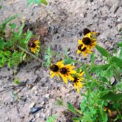 Location: Medina Co., TexasDate: June 2, 2012Brown-eyed Susan
