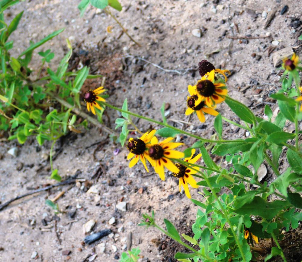 Photo of Black Eyed Susans (Rudbeckia) uploaded by LindaTX8