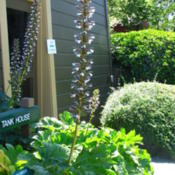 Location: At the Winchester House Gardens - San Jose, CADate: 2012-06-02Acanthus Mollis grown on the Winchester Gardens
