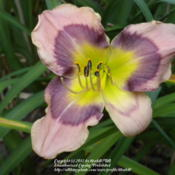 Location: Ithaca, NYDate: 2011-07-20Hemerocallis: Quest of Dreams