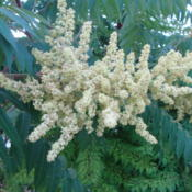 Date: 2012-06-04Male flower....Sumac have both