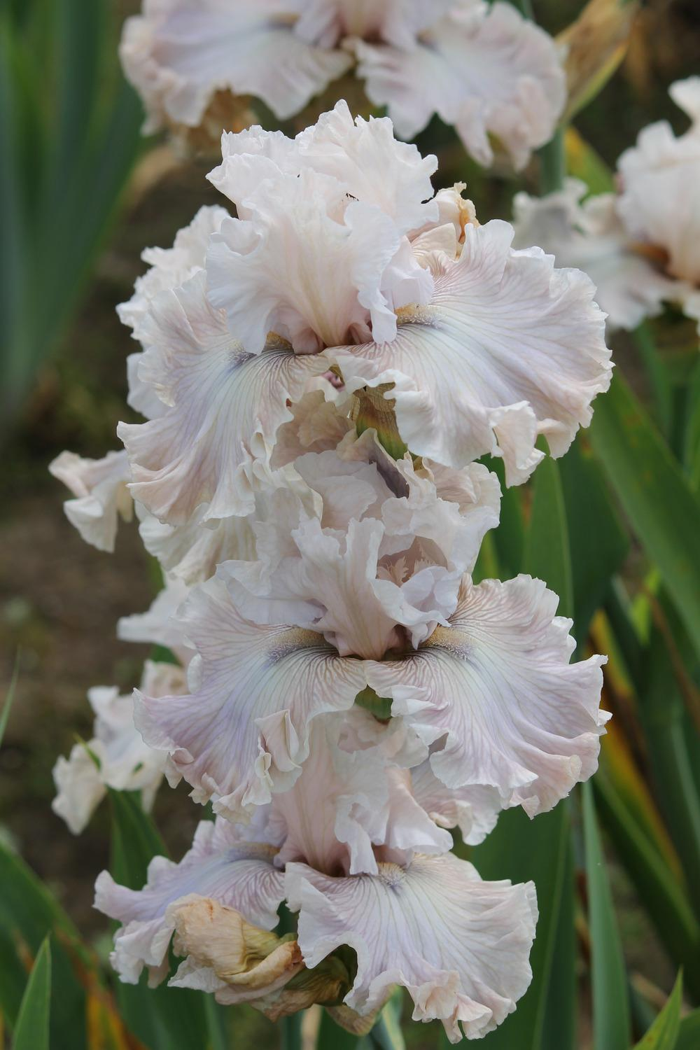 Photo of Tall Bearded Iris (Iris 'Friendly Advice') uploaded by ARUBA1334