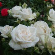 Date: 2012-06-05A fragrant white sport of New Zealand