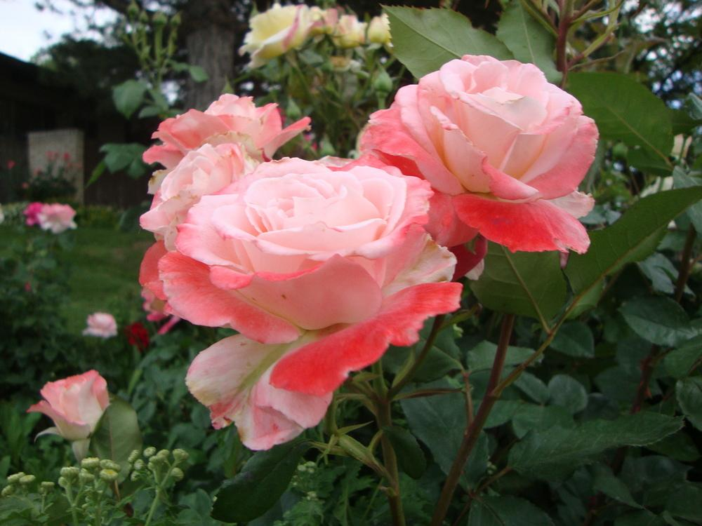 Photo of Rose (Rosa 'Brigadoon') uploaded by Paul2032