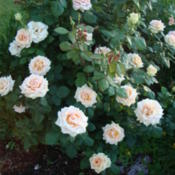 Location: In my gardenDate: 2012-06-07Produces lots of nicely formed blooms