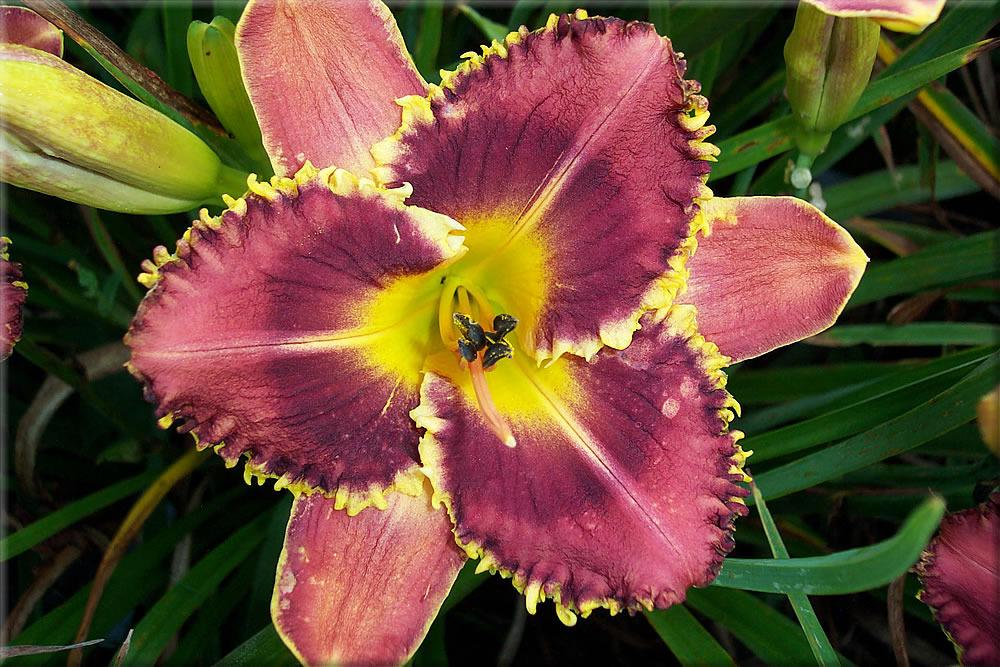 Photo of Daylily (Hemerocallis 'Barracuda Bay') uploaded by Joy